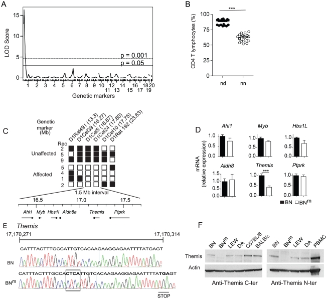 BN m rats carry a disrupted Themis gene. (A) Genome scan for loci controlling the percentage of CD4 T cells in the blood of 44 (BN m ×DA)×BN m rats. Horizontal lines represent genome-wide significance thresholds of 5% (significant) and 0.1% (highly significant) as determined by permutation tests. (B) Percentages of CD4 T cells in 44 (BN m ×DA)×BN m backcross rats classified according to their genotypes at the microsatellite marker of chromosome 1 nearest to the QTL. In each group, horizontal bars represent the mean values. nn: homozygous BN (n = 23); nd: heterozygous BN-DA (n = 21). (C) Fine mapping of the BN m mutation in 28 (BN m ×DA) F2 or (BN m ×DA)×BN m backcross rats, among which 16 showed normal proportions of CD4 T lymphocytes (Unaffected) and 12 showed CD4 T cell lymphopenia (Affected). The position of each microsatellite marker on chromosome 1 is indicated in megabases (Mb). White: homozygous BN m ; black: heterozygous BN m /DA. Rec: number of rats characterized by a given recombination. The physical map of the critical 1.5 Mb interval containing 6 genes is shown underneath. (D) Relative mRNA expression of the 6 genes in BN m (n = 4) and BN (n = 4) thymocytes. Data are representative of two independent experiments. (E) Electrophoregram, nucleic acid sequences and corresponding amino acids of the BN and BN m Themis gene in the region surrounding the 4 nucleotide insertion corresponding to the BN m mutation (boxed). (F) Immunoblot analysis of Themis and β-actin in thymocytes from BN, BN m , LEW and DA rats, C57BL/6 mice and in human PBMC using anti-Themis antibodies specific either for the mouse C-terminal (left panel) or the human N-terminal (right panel) portion of the protein.