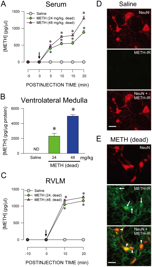 Presence of methamphetamine in RVLM neurons after intravenous administration. (A–C). Changes in concentration of METH in serum (A), ventrolateral medulla (B) or extracellular fluid collected from RVLM (C) of rats that died of intravenous administration of METH (at arrow). Values are mean ± SEM, n = 4–9 animals per experimental group. * P