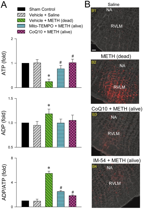 Methamphetamine induced bioenergetics failure in RVLM. (A). Fold changes relative to sham-control group in the level of ATP, ADP or ADP/ATP ratio in samples collected from RVLM of rats that died of METH (24 mg/kg, i.v.) or survived with pretreatment by microinjection of Mito-TEMPO (500 pmol) or coenzyme Q10 (CoQ10; 7 nmol) into RVLM prior to METH administration. Values are mean ± SEM, n = 3–5 animals per experimental group. * P