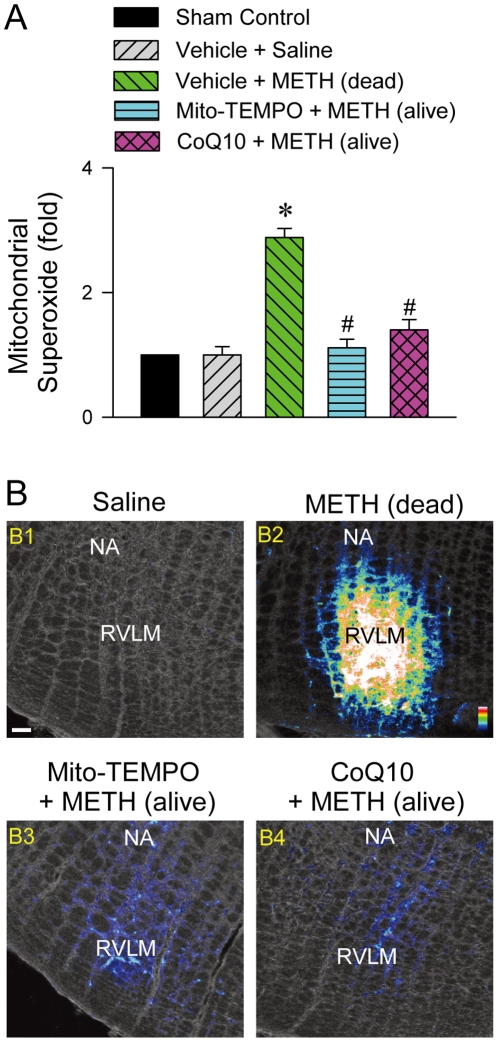Methamphetamine increased production of mitochondrial superoxide anions in RVLM. (A). Fold changes relative to sham-control group in mitochondrial superoxide anion in sample collected from RVLM of rats died of METH (24 mg/kg, i.v.) or survived with pretreatment by microinjection of Mito-TEMPO (500 pmol) or coenzyme Q10 (CoQ10; 7 nmol) into RVLM prior to METH administration. Values are mean ± SEM, n = 3–6 animals per experimental group. * P