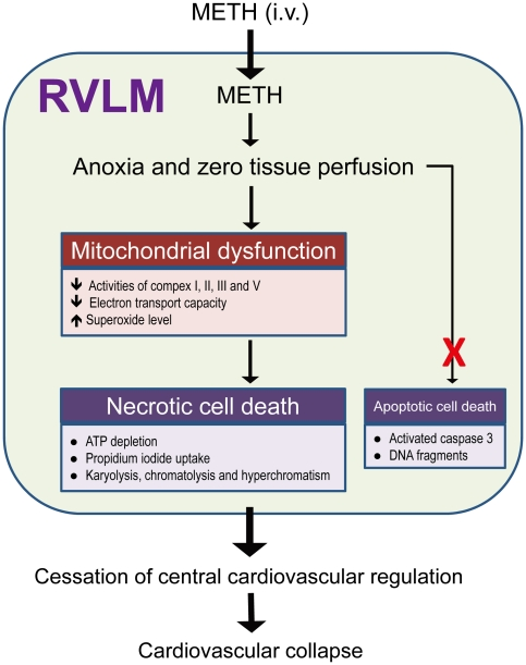 Proposed mechanisms in RVLM that underlies METH-induced cardiovascular collapse. Intravenous administration of METH rapidly reaches RVLM to induce anoxia and cessation of tissue perfusion, followed by bioenergetics failure and oxidative stress because of mitochondrial dysfunction that lead to necrotic cell death. The loss of functionality in RVLM results in cessation of central cardiovascular regulation and the eventual cardiovascular collapse.