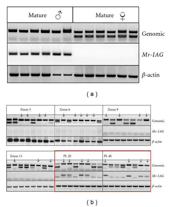 <t>PCR</t> of genomic <t>DNA</t> and RT-PCR of RNA extracted from larvae and juvenile and mature male and female M. rosenbergii individuals. Genomic-based PCR indicates maleness, where no female specific marker was amplified. RT-PCR was applied for detection of Mr-IAG expression by using Mr-IAG specific primers and β -actin as positive control. (a) For adult male and female individuals, there is a correlation between the absence of the female specific marker and Mr-IAG expression. On the basis of this result, larvae and juveniles were defined as males according to the absence of the genomic sex marker (marked by arrows in Figure 2(b) ). (b) None of the individuals sampled at larval stages (zoeae 3, 6, 9, and 11) expressed Mr-IAG regardless of the presence or absence of the genomic sex marker. At PL 20 and onwards, all individuals identified as males according to absence of the female specific marker also expressed Mr-IAG .