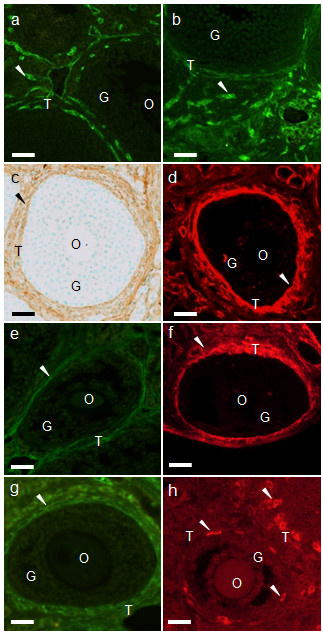 Immunohistochemical localization of the cell markers in mouse ovaries . Immunohistochemistry of (a) Flk-1, (b) F4/80, (c) fibronectin, (d) laminin, (e) tenascin, (f) collagen type IV, (g) THY1, and (h) CYP 17A-1 in mouse ovaries. (a, b, d-h) visualized by immunofluorescence and (c) visualized by ABC staining. O, oocyte; G, granulosa cells; T, theca cells. Scale bars = 25 μm.