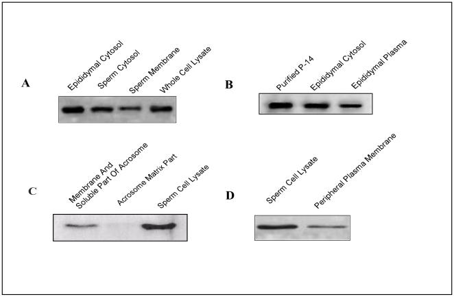 Presence of p14 in plasma membrane and soluble part of acrosome. ( A ) Western blot analysis showing the expression of p14 in membrane and cytosolic fractions of sperm and whole cell lysate. ( B ) Expression of the p14 in the cytosolic fraction of epididymis and cauda epididymal plasma. ( C ) Western blot showing the presence of p14 in plasma membranes and soluble components of the acrosome, acrosomal matrix and sperm cell lysate. ( D ) Immunoblot with a peripheral plasma membrane protein extract prepared from washed caudal epididymis following treatment with AES solution and cell lysate. Proteins were extracted from caudal sperm with 0.625% <t>Triton-X-100</t> solution for immunoblotting (details in methods ). Experiments were repeated four times.