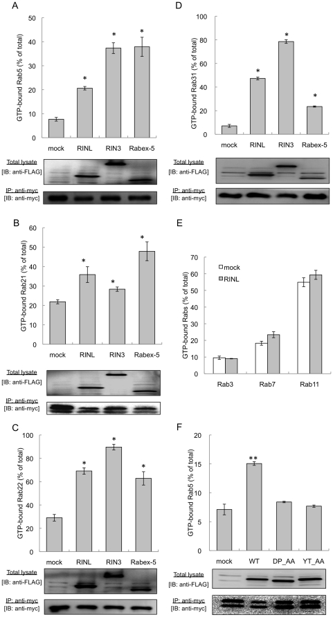 GEF activity of RINL for Rab5 subfamily proteins. (A–D) HEK293T cells expressing myc-Rab5b (A), Rab21 (B), Rab22 (C), or Rab31 (D) and FLAG-mock, RINL, RIN3, or Rabex-5 were metabolically radiolabeled with 32 P i for 4 hours. Myc-Rab5 subfamily proteins were immunoprecipitated with an anti-myc monoclonal antibody, and nucleotides associating with each Rab protein were separated by thin-layer chromatography. The radioactivity of GTP and GDP was quantified, and the percentages (%) of each GTP-bound Rab are shown. Total lysates (bottom) and immunoprecipitated samples (middle) from the radiolabeled cells were separated by SDS-PAGE and immunoblotted with anti-FLAG and anti-myc antibodies, respectively. *p
