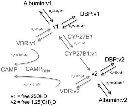 Schematic framework of parameters used to produce extracellular steady state (eSS) and intracellular (iSS) mathematical models for vitamin D metabolism and function. Free 25OHD and 1,25(OH) 2 D interacting with extra-cellular vitamin D binding protein (DBP) or albumin indicated in black text and arrows (eSS model). Intra-cellular interactions involving the vitamin D-activating enzyme (CYP27B1), the vitamin D receptor (VDR) and transcriptional induction of the antibacterial protein CAMP via interaction between VDR and the CAMP gene promoter (CAMP-DNA) indicated by grey text and arrows (iSS model).