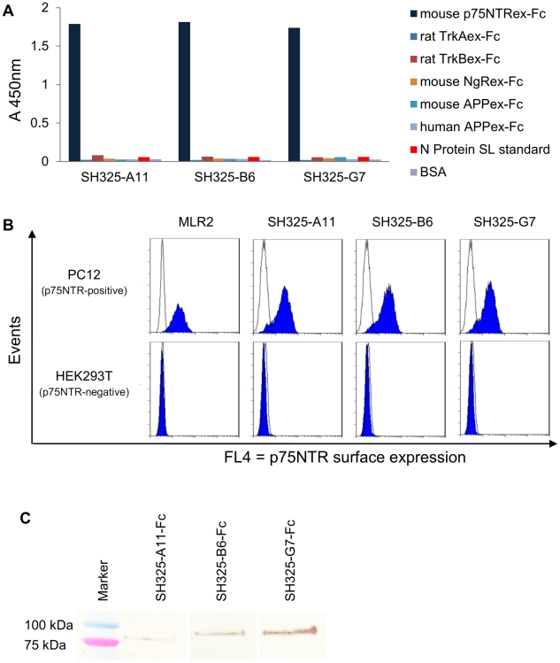 Characteration of the p75NTR-specific antibodies. (A) Antigen binding ELISA. 100 ng of mouse p75NTRex-Fc (shown in dark blue), rat TrkAex-Fc, rat TrkBex-Fc, mouse NgRex-Fc, mouse or human APPex-Fc, N protein SL standard or BSA were immobilized in the plate for each well. 250 ng of each scFv was added after the antigen-coated plates were blocked with FCS for 1.5 hr. Bound scFvs were detected using anti myc-tag mAb (1∶500) and goat anti-mouse IgG HRP conjugated (1∶5,000). (B) The scFvs specifically recognize native p75NTR on PC12 cell surfaces. PC12 or HEK293T cells were stained with 250 ng of the p75NTR-specific scFvs (SH325-A11, SH325-B6, SH325-G7). Bound scFvs were detected by mouse anti-His 6 mAb (1∶100) followed by goat anti-mouse IgG F(ab′) 2 fragment APC conjugated (1∶200). The p75NTR surface expression on PC12 cells was determined by staining PC12 or HEK293T cells with mouse anti-p75NTR mAb (MLR2, 1∶200) followed by goat anti-mouse IgG F(ab′) 2 fragment APC conjugated (1∶200). The blue histograms represent the mouse anti-p75NTR mAb (MLR2) or the p75NTR-specific scFvs staining PC12 cells (upper row) and HEK 293T cells (lower row). The white histograms represent the controls stained with goat anti-mouse IgG F(ab′) 2 fragment APC conjugated alone (MLR2 line) or α phOx scFv (other lines) followed by mouse anti-His 6 mAb and goat anti-mouse IgG F(ab′) 2 fragment APC conjugated. ( C ) Detection of denatured antigen (p75NTRex-mFc) by the p75NTR-specific recombinant antibodies in immunoblot. 250 ng of p75NTRex-mFc was denatured and blotted on a PVDF membrane. 1 µg of each p75NTR-specific recombinant antibody was used to stain the membrane for 1.5 hr. The bound antibodies were detected by goat anti-human IgG Fc antiserum AP conjugated (1∶2,000) for 1 hr at RT.