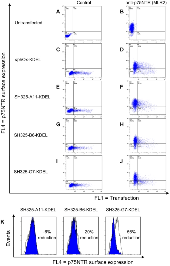 Knockdown of p75NTR surface expression in PC12 cells by the p75NTR-specific ER retained intrabodies. PC12 cells were transiently transfected with the p75NTR-specific ER retained intrabodies or α phOx-KDEL. Four days after transfection, the p75NTR surface expressions were determined with mouse anti-p75NTR mAb (MLR2, 1∶200) followed by goat anti-mouse IgG F(ab′) 2 fragment APC conjugated (1∶200, B, D, F, H, and J). Cells stained with secondary antibody alone were served as control (A, C, E, G, and I). Overlay analysis for the p75NTR surface expression is shown in PC12 cells (K). The blue histograms represent the p75NTR surface expression of the PC12 cells expressing the p75NTR-specific ER retained intrabodies. The white histograms represent the p75NTR surface expression of the PC12 cells expressing the control α phOx-KDEL. The efficiency of knockdown p75NTR surface expression is indicated in percent. The picture of SH325-G7-KDEL is also shown in Figure 7 as 4 day time point result.