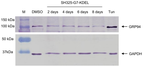 Stress response (UPR) in cells transfected with intrabody construct SH325-G7-KDEL. The SH325-G7-KDEL transfected PC12 cells from different time points (2–8 days) were sorted based on the EGFP-F fluorescence. Cells treated with 20 µg/mL of tunicamycin (Tun) or solvent alone (DMSO) were used as the positive or negative control, respectively. Cell extracts were prepared and blotted on a PVDF membrane. The membrane was incubated with rabbit anti-GRP94 (1∶1,000) and rabbit anti-GAPDH (1∶5,000) for 1 hr at RT. After 3× washing with PBST, the membrane was subsequently incubated with goat anti-rabbit IgG AP conjugated antibody (1∶5,000) for 1 hr at RT. GAPDH served as an internal control to ensure equal protein loading.