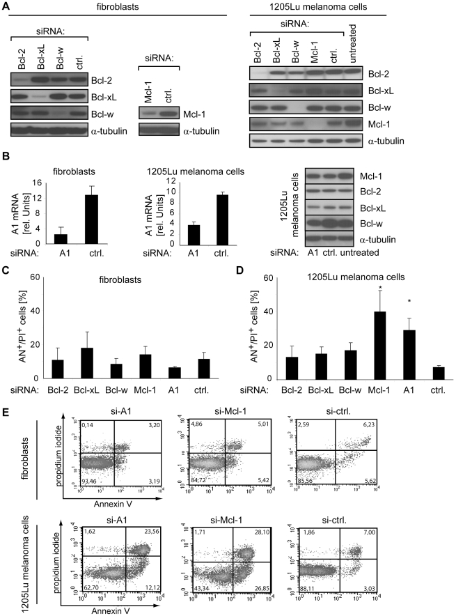 Inhibition of Mcl-1 or A1 leads to melanoma-specific cell death. (A) Primary human fibroblasts and 1205Lu melanoma cells were treated with the indicated <t>siRNAs</t> and expression of Bcl-2, Bcl-xL, Bcl-w, and Mcl-1 was analyzed after 48 hours by immunoblotting. (B) A1 mRNA was measured by quantitative <t>RT-PCR</t> in cells treated with A1-specific- or control siRNA for 48 hours (left and middle panel). Non-targeted Bcl-2 proteins were analyzed at the same time point by immunoblotting (right panel). (C) Cell death of fibroblasts was determined by quantification of Annexin V (AN)- and propidium iodide (PI)-positive cells 72 hours after transfection of the indicated siRNAs. (D) Cell death analysis of 1205Lu melanoma cells treated as described in C. Asterisks indicate a significant increase in cell death versus control siRNA-treated cells. (E) Fluorescence-activated cell sorting (FACS) of apoptotic and dead fibroblasts (upper panel) or 1205Lu melanoma cells (lower panel) treated as described in C. Numbers indicate the portion of cells in each quadrant that defines Annexin V- or propidium iodide-positive or negative cells. Mean +/− SD of at least 3 independent experiments is shown in B, C, and D. α-tubulin served as loading control in immunoblots. Blots are representative for 3 independent experiments.