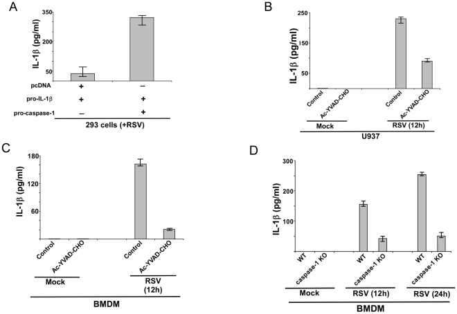 Caspase-1 dependent IL-1β release during RSV infection. ( A ) 293 cells were transfected either with pcDNA (control), pro-IL-1β and/or pro-caspase-1 plasmids. At 24 h post-transfection, cells were infected with RSV (1 MOI). At 12 h post-infection, medium supernatant was assessed for IL-1β protein by ELISA analysis. ( B ) Human macrophagic U937 cells were infected with RSV (1 MOI) in the presence of either water (vehicle control) or caspase-1 inhibitor (10 µM of Ac-YVAD-CHO). IL-1β levels in the medium supernatant were assayed by ELISA at 12 h post-infection. ( C ) Primary mouse bone marrow derived macrophages (BMDM) were infected with RSV (1 MOI) in the presence of either water (vehicle control) or caspase-1 inhibitor (10 µM of Ac-YVAD-CHO). IL-1β levels in the medium supernatant were assayed by ELISA at 12 h post-infection. ( D ) Wild type (WT) or caspase-1 knock-out (KO) BMDMs were infected with RSV (1 MOI). IL-1β levels in the medium supernatant were assayed by ELISA at 12 h and 24 h post-infection. Each value represents the mean ± standard deviation from three independent experiments.