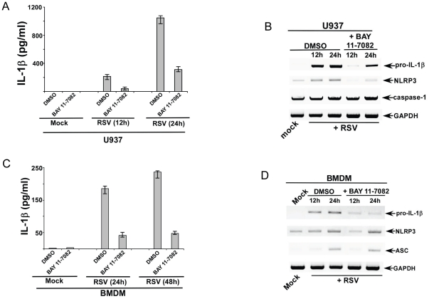 NF-κB signaling is critical for IL-1β secretion during RSV infection. ( A ) Human U937 cells were infected with RSV (1 MOI) in the presence of either DMSO (control) or NF-κB inhibitor (BAY 11-7082). IL-1β levels in the medium supernatant were assayed by ELISA at 12 h and 24 h post-infection. ( B ) RT-PCR analysis of pro-IL-1β, caspase-1 and NLRP3 expression in U937 cells infected with RSV in the presence of either DMSO (control) or BAY 11-7082. ( C ) Wild type primary mouse bone marrow derived macrophages (BMDM) were infected with RSV (1 MOI) in the presence of either DMSO (control) or BAY 11-7082. IL-1β levels in the medium supernatant were assayed by ELISA at 12 h and 24 h post-infection. ( D ) RT-PCR analysis of pro-IL-1β, ASC and NLRP3 expression in WT BMDMs infected with RSV in the presence of either DMSO (control) or BAY 11-7082. The gels shown in (B) and (D) are representative of three independent experiments that yielded similar results. For ELISA results, each value represents the mean ± standard deviation from three independent experiments.