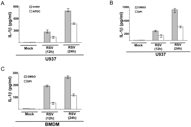 ROS produced during RSV infection triggers IL-1β secretion. ( A ) U937 cells were infected with RSV (1 MOI) in the presence of ROS inhibitor APDC (50 µM). Water served as the vehicle control. IL-1β levels in the medium supernatant were assayed by ELISA at 12 h and 24 h post-infection. ( B ) U937 cells were infected with RSV (1 MOI) in the presence of ROS inhibitor DPI (10 µM). DMSO served as the vehicle control. IL-1β levels in the medium supernatant were assayed by ELISA at 12 h and 24 h post-infection. ( C ) Wild type primary mouse bone marrow derived macrophages (BMDM) were infected with RSV (1 MOI) in the presence of ROS inhibitor DPI (2 µM) or DMSO (vehicle control). IL-1β levels in the medium supernatant were assayed by ELISA at 12 h and 24 h post-infection. Each value represents the mean ± standard deviation from three independent experiments.