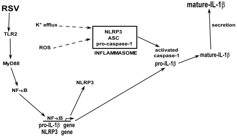 A schematic model depicting the mechanism of IL-1β secretion during RSV infection. RSV infection activates TLR2/MyD88 pathway that culminates in NF-κB activation. Nuclear translocation of NF-κB results in NF-κB mediated trans-activation of pro-IL-1β and NLRP3 genes. Intracellular ROS generated during RSV infection and potassium efflux due to stimulation of ATP-sensitive ion channel triggers assembly of NLRP3/ASC inflammasome complex. NLRP3/ASC inflammasome activates caspase-1, which subsequently cleaves pro-IL-1β protein into its mature form. Mature IL-1β is secreted from the cells.