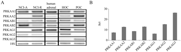 Expression pattern of the subunits of AMPK (PRKA) in steroidogenic tissues. RNA was extracted from human adrenal NCI-H295 cells, adult human adrenal tissue and human as well as porcine primary ovarian cell culture. A, semiquantitative RT-PCR (30 cycles) was performed on 100 ng of reverse-transcribed total RNA using specific primers and PCR products were separated on a 1.5% agarose gel and visualized with ethidium bromide. Shown is a representative gel of three independent experiments. B, QRT-PCR was performed on 50 ng cDNA obtained from NCI-H295R cells using ABsolute <t>QPCR</t> <t>SYBR</t> Green Mix. Data represent calculations of two independent experiments where 18S rRNA served as internal control.