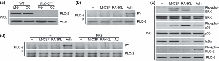 Cellular adhesion triggers PLCγ2 phosphorylation. (a) Expression of PLCγ2 in macrophages (MΦ) and osteoclasts (OC). Wild-type (WT) and PLCγ2 −/− bone marrow cells were cultured in the presence of 50 ng/mL M-CSF with (OC) or without (MΦ) 50 ng/mL RANKL for 4 days, followed by preparation of whole-cell lysates (WCL) and immunoblotting for PLCγ2 and β-actin. B-C, Stimulus-induced phosphorylation of PLCγ2. Wild-type macrophages were treated with 50 ng/mL M-CSF, 50 ng/mL RANKL or kept unstimulated in suspension, or they were plated on tissue culture-treated plastic dishes (Adh). After 30 min of incubation, cell was lysed and processed for immunoprecipitation (IP) of PLCγ2 followed by immunoblotting using anti-phosphotyrosine (PY) antibodies, (b) or WCL were immunoblotted using phosphorylation-specific antibodies against ERK, the p38 MAP kinase (p38) and PLCγ2 or nonphospho-specific antibodies against IκBα (c). Immunoblotting for ERK, p38 and PLCγ2 served as loading control. (d) Role of Src-family kinases in PLCγ2 phosphorylation. Wild-type macrophages were pretreated in the presence or absence of 10 μM PP2 and then stimulated and their PLCγ2 phosphorylation tested as in panel b. Results shown represent 3–5 independent experiments with similar results.