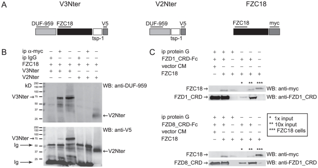 The FZC18 domain homodimerizes and binds FZD1 and FZD8 CRDs. (A) Schematic structure of V3Nter, V2Nter and FZC18 cDNAs. V3Nter and V2Nter correspond to the N-terminal noncollagenous domains of variants 3 and 2 of collagen XVIII, respectively. They share the DUF-959 domain, a portion of the tsp-1 (thrombospondin-1) domain and the V5 tag. Only V3Nter contains the FZC18 domain. The FZC18 vector has a myc tag. Thick horizontal lines indicate the antibodies used. (B) FZC18 can homodimerize. FZC18-myc was cotransfected with V3Nter-V5 or V2Nter-V5 in HEK293-EBNA cells. Cell lysates were immunoprecipitated with anti-myc and immunoblotted with anti-DUF-959 (top) . The membrane was stripped and re-probed with anti-V5 (bottom) . Ig , immunoglobulins. (C) Soluble FZC18 binds FZD1_CRD and FZD8_CRD. CM from HEK293-EBNA cells secreting FZC18-myc was incubated with recombinant 100 ng/ml FZD1_CRD-Fc (upper panel) or with CM from HEK293-EBNA cells secreting FZD8_CRD-Fc (lower panel) . FZD1_CRD-Fc and FZD8_CRD-Fc were immunoprecipitated with protein G magnetic beads, electrophoresed and immunoblotted with anti-myc, anti-FZD1_CRD or anti-FZD8_CRD, as shown. Asterisks denote inputs or FZC18 cell lysate, as indicated.
