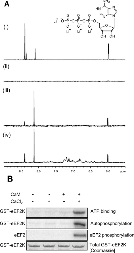 Regulation of the binding of eEF2K to ATP studied by STD NMR ( A ) Binding of ATP-γS to eEF2K as a function of Ca 2+ /CaM. The same section of the 1 H spectrum of a 1 mM ATP-γS solution is shown under four experimental conditions: (i) 1 H NMR spectrum of ATP-γS; (ii) 1 H STD spectrum of ATP-γS showing that the STD pulses do not saturate ATP-γS; (iii) same 1 H STD spectrum of ATP-γS in the presence of 9 μM eEF2K[48–336] and eEF2K[490–725]; and (iv) in the presence of a mixture of 9 μM eEF2K[48–336] and eEF2K[490–725] and 1 mM CaCl 2 and 100 μM CaM respectively. Binding of ATP-γS to Ca 2+ /CaM could be excluded because of the absence of STD signals in an ATP-γS Ca 2+ /CaM solution (results not shown). The inset shows the structure of ATP-γS. ( B ) Dependence of activity and ATP-cross-linking on Ca 2+ /CaM. To test ATP binding, recombinant GST–eEF2K was incubated with [α- 32 P]ATP in the absence or presence of Ca 2+ ions or CaM, as indicated. Samples were subjected to UV irradiation as described in the Experimental section. In parallel, other samples were incubated with [γ- 32 P]ATP and eEF2 to examine autophosphorylation of eEF2K and activity against eEF2. Equal levels of eEF2K protein were confirmed by staining the gel with Coomassie Brilliant Blue (bottom panel). The other three panels show autoradiographs of SDS/PAGE.