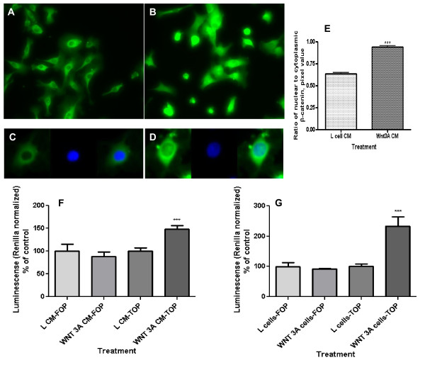 Wnt pathway activation by extracellular Wnt3a as reflected in nuclear β-catenin content and level of Wnt throughput in EAhy926 endothelial cells . (A) Control cells were not treated with Wnt. (B) Cell treatment with Wnt3a increased their cytoplasmic and nuclear β-catenin content. Cells were analyzed by immunofluorescence with primary antibodies against β-catenin, <t>biotinylated</t> secondary antibody, and subsequently TSA Fluorescein System. (C) A typical control cell with β-catenin staining (green fluorescence) and nuclear staining (blue fluorescence, DAPI). (D) A typical Wnt3a-treated cell. After treatment of cells with Wnt3a conditioned media (CM) β-catenin staining co-localized with nuclei. (E) Ratio of nuclear to cytoplasmic β-catenin in the EAhy926 cells. Wnt3A CM increased the nuclear/cytoplasmic ratio (**p