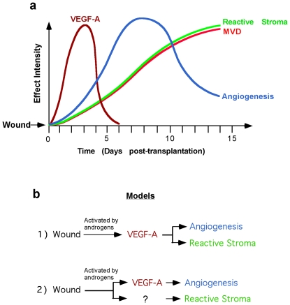 Schematic representation of timeframe of the transplantation-induced biological processes in primary xenografts of human benign and malignant prostate tissue. ( a ) Temporal changes of VEGF-A expression (brown line), angiogenesis (blue line), microvessel density (red line) and expression of a reactive stroma phenotype after xenograft transplantation. ( b ) The data from graph (a) suggests two hypothetical models of the cause-effect relationship of VEGF-A expression with angiogenesis and reactive stroma generation in primary xenografts of human prostate tissue.