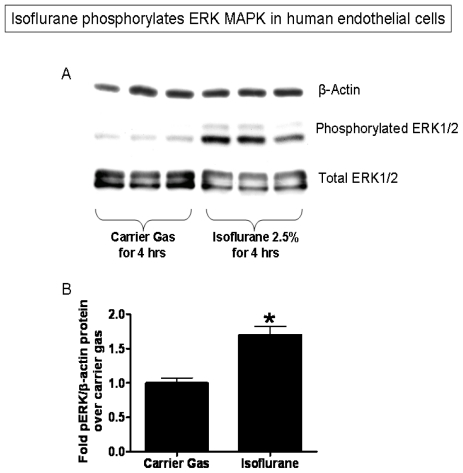 Isoflurane increases ERK MAPK phosphorylation in EA.hy926 cells without changing total ERK expression. ( A ) Representative immunoblotting images of β-actin, phosphorylated ERK and total ERK from 4 independent experiments; ( B ) Densitometric quantifications of band intensities relative to beta-actin. n = 4 per group. * p