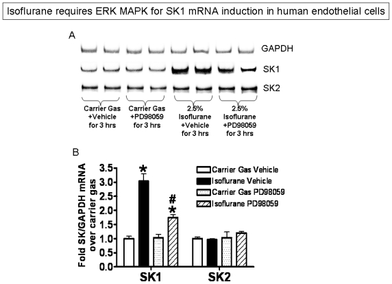 Inhibition of ERK MAPK phosphorylation with PD98059 (a selective MEK1 inhibitor) significantly reduced isoflurane-mediated induction of SK1 mRNA in EA.hy926 human endothelial cells. ( A ) Representative RT-PCR images for GAPDH, SK1 and SK2 from 4 independent experiments; ( B ) Densitometric quantifications of band intensities for SK1 and SK2 relative to GAPDH from RTPCR reactions. n = 4 per group. * p