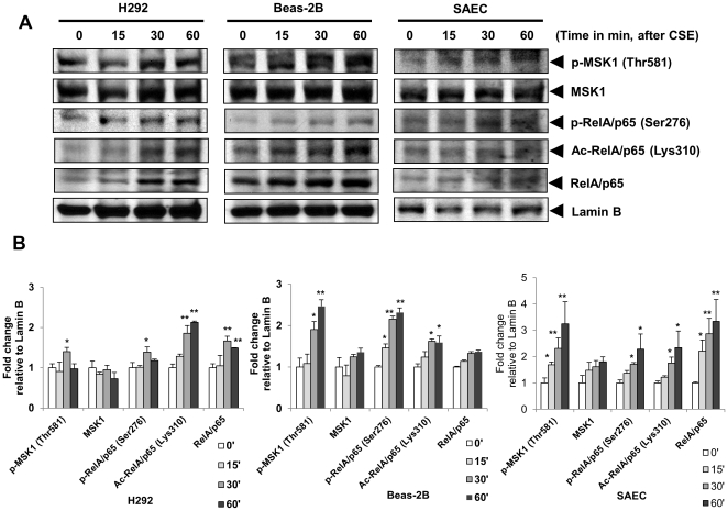 Cigarette smoke increased the nuclear levels of phosphorylated MSK1, phosphorylated and acetylated RelA/p65 in a time-dependent manner in human bronchial and small airway epithelial cells, and in mouse lung. (A) H292, BEAS-2B and SAEC cells were treated with or without 1% CSE (time course: 0, 15, 30, and 60 minutes). Cells were harvested, nuclear extracts were prepared and immunoblotted for p-MSK1 (Thr581), total MSK1, phosphorylated RelA/p65 (Ser276), acetylated RelA/p65 (Lys310), and total RelA/p65. Lamin B was used as nuclear protein loading controls. Gel pictures shown are representative of at least three separate experiments. (B) The band intensity was measured by densitometry and data shown as fold change relative to Lamin B control. Data are shown as mean ± SEM; *, P