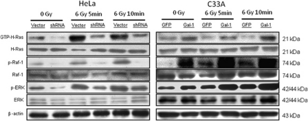Effects of galectin-1 on the Ras-transmitted downstream signals. Scrambled RNA or galectin-1 shRNA were transfected in HeLa cells. GFP or galectin-1 cDNA were transfected in C33A cells. The cells were irradiated with 6 Gy and harvested 5 or 10 min later. Expressions of activated H-Ras, p-Raf-1, and p-ERK using western blots in HeLa and C33A cells were compared with or without galectin-1 modulation