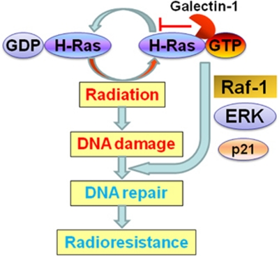 A proposed model of cooperation between H-Ras and galectin-1 for radioresistance. Galectin-1 enhances activation (GTP form) of H-Ras following irradiation. Galectin-1 potentiates downstream signals of H-Ras, such as Raf-1 and ERK, that may mediate DNA damage repair 33 and radioresistance. 31 , 32 Galectin-1 may regulate p21 expression 36 through Raf-1. 34 Hence, Raf-1 may have a significant role in galectin-1-mediated radioresistance