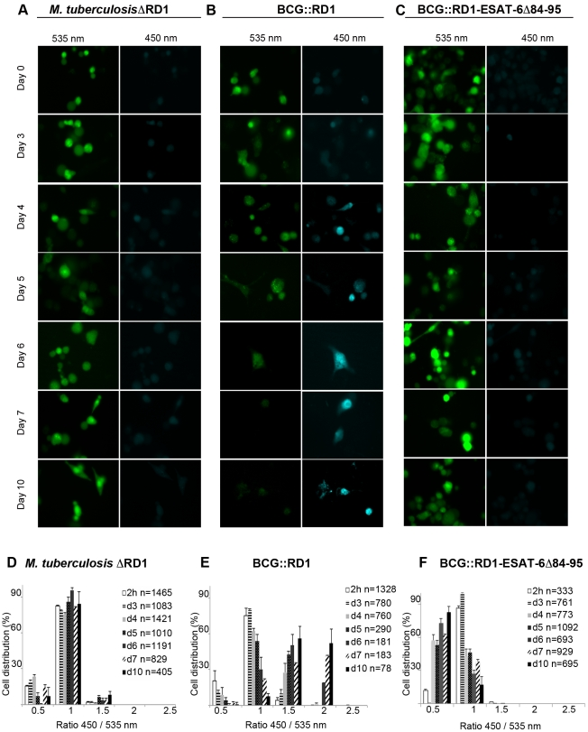 Analysis of ESX-1 deletion-, truncation- and complementation-mutants highlights the link between phagosomal rupture and functional ESX-1 secretion. THP-1 cells were infected with M. tuberculosis ΔRD1 (A,D), BCG::RD1 (B,E) or BCG::RD1-ESAT-6Δ84–95 (C,F) at a MOI of 1 for the indicated time and then loaded with CCF-4 molecule for 2 h. After PFA fixation, cells were imaged using a fluorescence widefield microscope (Nikon Ti) equipped with a 40X objective (A,B,C). Picture acquisition was achieved randomly and automatically for each condition on 49 fields in duplicates and further 450/535 nm intensity ratio measurement (D,E,F) was obtained through analysis by a specialized algorithm using the Metamorph software. The plots are representative of 3 independent experiments.
