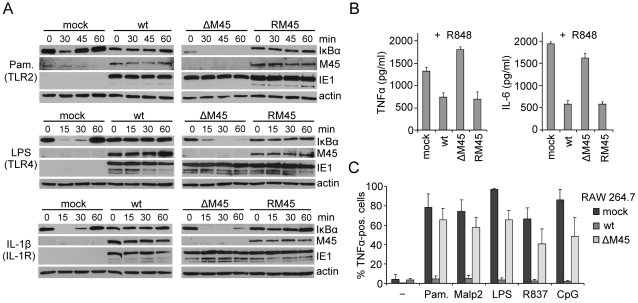 M45 inhibits IκBα degradation, TNFα and IL-6 production during MCMV infection. (A) NIH-3T3 cells were infected with wt MCMV-GFP, an M45 deletion mutant (ΔM45) or a revertant virus (RM45) at an MOI of 10 and treated 5 h postinfection with the TLR2 agonist Pam 3 CSK 4 (Pam., 0.1 µg/ml), the TLR4 agonist LPS (10 µg/ml), or IL-1β (20 ng/ml) for the indicated times. Levels of the indicated proteins were analyzed by immunoblotting. (B) BMDMs were infected with wt MCMV-GFP, ΔM45, or RM45 at an MOI of 3 and stimulated 8 h postinfection for 16 h with the TLR7 agonist R848 (0.1 µM). TNFα and IL-6 levels in the supernatant were determined by ELISA (mean ± SD). (C) RAW264.7 macrophages were infected with wt MCMV-GFP or ΔM45 at an MOI of 0.1, stimulated 24 h postinfection for 4 hours with TLR agonists Pam 3 CSK 4 (Pam.) or Malp-2 (TLR2), LPS (TLR4), <t>R837</t> (TLR7), or CpG (TLR9), in the presence of brefeldin A. Cells were fixed, permeabilized, and stained with a TNFα-specific antibody. The percentages of TNFα-positive cells within infected (GFP-positive) cell populations were determined by FACS analysis (mean ± SD).