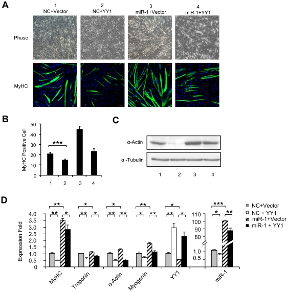 YY1 represses miR-1 functionally during C2C12 myogenesis. (A) C2C12 cells were transfected with the indicated combination of NC or miR-1 oligos and Vector or YY1 expression plasmids. Cells were then differentiated (DM) for 2 days, at which time cells were immunostained for MyHC. Cell morphology was visualized by phase-contrast microscopy. (B) MyHC positive cells were quantified by counting positively stained cells from 10 randomly chosen fields and are represented as mean ± S.D. (C) Total proteins were isolated from the above transfected cells and Western blotting was performed to probe for α-Actin. α-Tubulin was used as a loading control. (D) Total RNAs were extracted from the above transfected cells and used for qRT-PCR analysis of myogenic markers, MyHC, Troponin, α-Actin, and Myogenin normalized with GAPDH. YY1 and miR-1 levels were also measured to show the transfection efficiency. Quantitative values are represented as mean ± S.D. The p value was determined by Student's T-test: *p