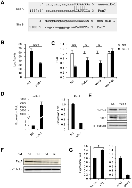 miR-1 targets Pax7 during C2C12 differentiation. (A) Predicted target sites, A and B, of miR-1 in the 3′UTR of mouse Pax7. (B) A luciferase reporter plasmid was generated by cloning a ∼800 bp region of Pax7 3′UTR encompassing both site A and B downstream of the luciferase (Luc) reporter gene. The reporter construct was then transfected into C2C12 cells with negative control (NC) or miR-1 oligos along with Renilla luciferase plasmid. Luciferase activities were determined at 48 h post-transfection and normalized to Renilla readings. The data represent the average of three independent experiments ± S.D. (C) A mutation was introduced in either site A (Mut A) or site B (Mut B) or both (Mut A+B). Their responses to miR-1 over-expression were tested as above. (D) C2C12 myoblasts were transfected with either NC or miR-1 oligos. Both miR-1 and Pax7 mRNAs levels were then measured 48 hr post-transfection. (E) HDAC4 or Pax7 proteins were probed in extracts from cells 48 hr after transfection. Blots were stripped and reprobed for α-Tubulin as the loading control. (F) Proteins extracted from C2C12 differentiated (DM) for 0 d, 1 d, 3 d and 5 d were used for Western blotting assay of Pax7. α-Tubulin was used as a loading control. (G) Left: C2C12 myoblasts were transfected with Vector or YY1 expression plasmid. Pax7 mRNA expression was then measured in extracts from cells 48 hr after transfection using GAPDH as normalization. Right: C2C12 myoblasts were transfected with siNC or siYY1 oligos. Pax7 mRNA expression was then measured in extracts from cells 48 hr after transfection using GAPDH as normalization. Expression folds are shown with respect to Vector or siNC control where Pax7 levels were set to a value of 1. Values are represented as mean ± S.D. The p value was determined by Student's T-test: *p