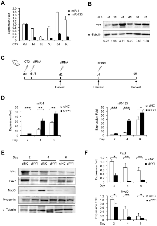 <t>YY1</t> negatively regulates miR-1 during CTX-induced muscle regeneration. (A) Tibialis anterior (TA) muscles from six-week old C57/BL6 background mice were injected with 10 µM cardiotoxin (CTX). RNAs and proteins were then extracted from injected muscles at the indicated days post-injection, and qRT-PCR was performed to measure the expression of miR-1 and miR-133, normalized to U6. Expression folds are shown with respect to day 0 where miR-1 and miR-133 levels were set to a value of 1. Quantitative values are represented as means ± S.D. (B) YY1 expression was measured by Western blotting. α-Tubulin was used as a loading control. Numbers below indicates the quantification by densitometry. (C) TA muscles from 6 week C57/BL6 background mice were injected CTX at day 0, followed by injection with siNC (left leg) and siYY1 <t>oligos</t> (right leg) 6 hours later. And re-injection of <t>siRNA</t> oligos was performed every other day for two more times. The injected muscles were harvested at the indicated days. N = 6 for each group. (D) Expressions of miR-1 and miR-133 were detected by qRT-PCR in CTX/siRNA injected muscles at day 2, 4 and 6, normalized to U6. Expression folds are shown with respect to siNC where miR-1 and miR-133 levels were set to a value of 1. (E) Western blotting was performed to analyze the expression of YY1, Pax7, MyoD and Myogenin. α-Tubulin was used as a loading control. Data is representative of 6 mice. (F) Expression of Pax7 and MyoD RNA levels were also detected by qRT-PCR normalized with GAPDH. Expression folds are shown with respect to siNC where Pax7 and MyoD levels were set to a value of 1. Quantitative values are represented as mean ± S.D. The p value was determined by Student's T-test: *p
