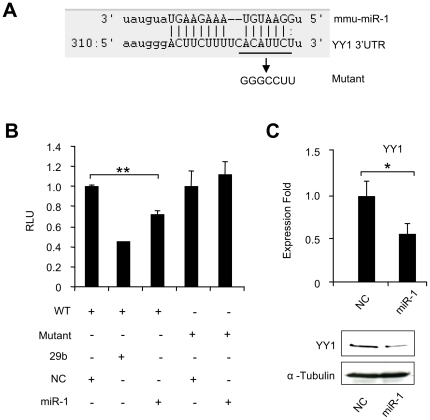 miR-1 inhibits YY1 expression through targeting its 3′UTR. (A) Predicted target site of miR-1 in the 3′UTR of mouse YY1. (B) A wild type (WT) luciferase reporter plasmid was generated by fusing a ∼500 bp fragment of the YY1 3′UTR encompassing the miR-1 binding site downstream of the luciferase (Luc) reporter gene. The mutant plasmid was generated by mutating the miR-1 binding site from ACAUUCU to GGGCCUU. WT or Mutant reporter construct was transfected into C2C12 cells with indicated miRNA oligos and Renilla luciferase reporter plasmid. Luciferase activities were determined at 48 h post-transfection and normalized to Renilla readings. Relative Luciferase Unit (RLU) is shown with respect to wild type and NC transfection where luciferase activities were set to a value of 1. The data represent the average of three independent experiments ± S.D. (C) Upper: C2C12 myoblasts were transfected with either NC or miR-1 oligos. Total RNAs were used to detect YY1 expression level with GAPDH as normalization. Expression folds are shown with respect to negative control where YY1 levels were set to a value of 1. Quantitative values are represented as mean ± S.D. Lower: YY1 protein was then probed in extracts from cells 48 hr after transfection. Blots were stripped and reprobed for α-Tubulin as the loading control. The p value was determined by Student's T-test: *p