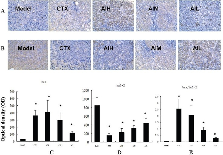 Expression of Bax and Bcl-2 proteins in transplanted tumor cells of H22 bearing mice (a) Representative immunostaining for Bax proteins in H22 bearing mice (×200. (b) Representative immunostaining for Bcl-2 proteins in H22 bearing mice (×200. (c) Semi-quantitative analysis of the optical density of Bax. (d) Semi-quantitative analysis of the optical density of of Bcl-2. (e) The calculated Bax/Bcl-2 ratio. Values are shown as mean±SD (n=10). * P