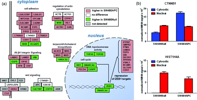 Proteomic changes associated with APC restoration. (A) Schematic figure represents a subset of enriched classes from 155 differentially expressed proteins (