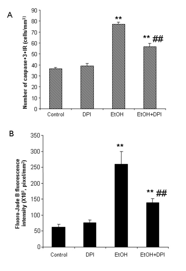 DPI reduced ethanol-induced caspase-3 activation and Fluoro-Jade B staining . Male C57BL/6 mice were treated intragastrically with ethanol (5 g/kg, i.g.) daily for 10 days. DPI (3 mg/kg) was injected intraperitoneally 0.5 hr and 24 hr after the last dose of ethanol. Mice were sacrificed 3 hrs after the last dose of DPI. Brain sections were stained with polyclonal cleave caspase-3 antibody and Fluoro-Jade B, respectively. (A) Ethanol increased the number of caspase-3+IR cells. DPI significantly reduced ethanol-induced increases in the number of caspase-3+IR cells. (B) Fluorescent intensity of Fluoro-Jade B positive cells in cortex was quantified by BioQuant image analysis system. Ethanol-treated mouse brains showed more Fluoro-Jade B positive cells than water-treated mouse brains. DPI significantly decreased ethanol-induced increases in the fluorescent intensity of Fluoro-Jade B positive cells. ** P