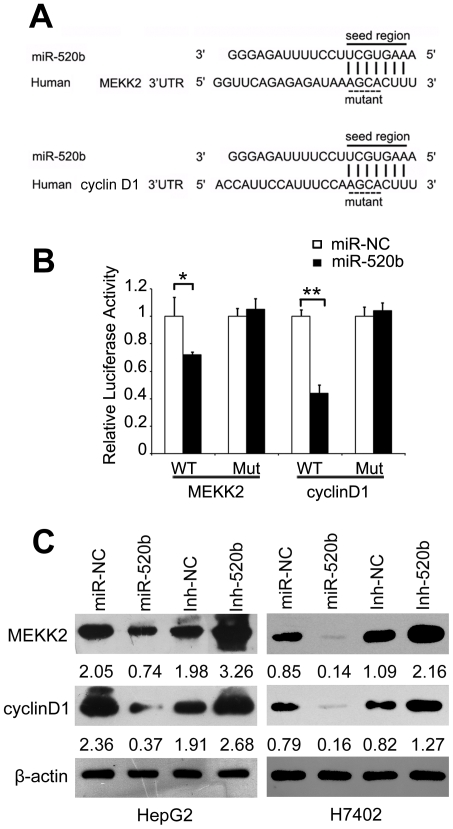 MiR-520b directly inhibits expression of MEKK2 and cyclin D1 via their 3′UTR. (A) Sequence alignment between miR-520b and the 3′UTR of human MEKK2 and cyclin D1 mRNA. Solid line, seed match region; dashed line, seed-mutated region. (B) The effect of miR-520b on the activity of firefly luciferase reporter containing either wild type (WT) or mutant type (Mut) 3′UTR was tested by luciferase reporter gene assays. (C) The effect of miR-520b or Inh-520b on the endogenous expression levels of MEKK2 and cyclin D1 was examined in HepG2 and H7402 cells by western blot analyses. β-actin was used as an internal control. The intensity for each band was quantified densitometrically.