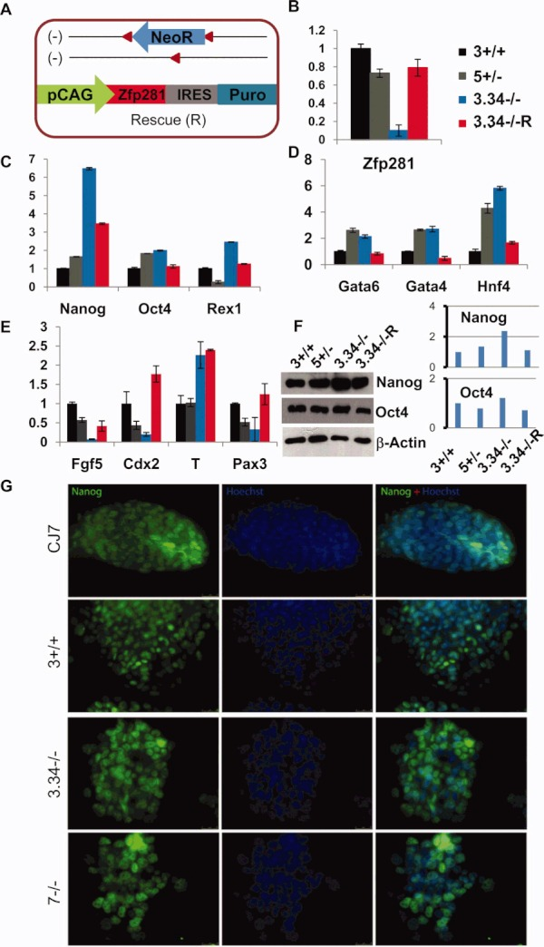 "Dysregulation of pluripotency and lineage specific markers in Zfp281 deficient embryonic stem cells (ESCs). (A): Depiction of the strategy for transgenic rescue of Zfp281 deficient ESCs with the pPyCAG-Zfp281IP expression vector. The two null (−) alleles (with and without the neomycin resistance gene) are shown. (B): Quantitative reverse transcriptase-polymerase chain reaction (RT-PCR) analyses of expression levels of Zfp281 transcripts in wild-type, heterozygous, null, and rescued ESCs. Note that the rescue level of Zfp281 is approximately 80% of the wild-type level. ""3.34−/−R"" represents Zfp281 deficient ESCs in which expression of Zfp281 is restored by ectopic expression of transgenic Zfp281 cDNA. Error bars represent SD. (C): Quantitative RT-PCR for relative expression levels of pluripotency markers in ESCs. (D): Quantitative RT-PCR for relative expression levels of endodermal markers in ESCs. (E): Quantitative RT-PCR for relative expression levels of differentiation markers in ESCs. (F): Western blot analysis showing a higher level of Nanog but a relatively smaller increase of Oct4 expression in Zfp281 deficient ESCs. β-Actin was used as a loading control. Western data were scanned and density of target bands was quantified using the ImageJ Software of the NIH. Band density was normalized to that of the β-actin loading control. (G): Heterogeneous expression of Nanog in wild-type, heterozygous, and null ESCs. Note that expression of Nanog in Zfp281 null ESCs is still as heterogeneous as that in wild-type controls (CJ7 and 3+/+)."