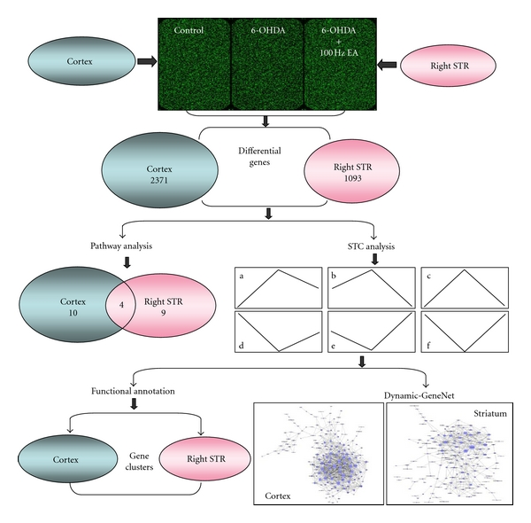 The flow-sheet was used for the data analysis of genomic profile. Three biology duplicate samples in each group were used for microarray analyzing. The cortex and right STR were examined, and the differential genes in this figure came from comparison of three groups ( P