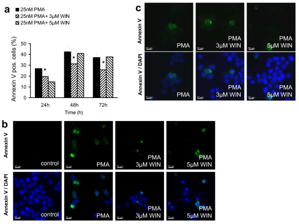 WIN55212-2 did not enhance PMA-induced apoptosis . Differentiation of U937 cells was induced by 25 nM PMA with or without co-incubation with WIN55212-2. The experimental groups were: 1.) Vehicle control = treatment with 0.1% DMSO only, 2.) Differentiation control = treatment with 25 nM PMA, 3.) Experimental groups were treated additionally with 3 μM or 5 μM WIN55212-2, respectively. Differentiated (a) and non-differentiated cells (b) were separated due to its adherence after 72 h incubation and apoptotic cells were detected by annexin V staining and FACS analysis (figure 3a) or immunocytochemical analysis after counterstaining with DAPI (figure 2b). Annexin V-positive cells in the non-differentiated cell fraction are quantified in figure 3a and displayed in figure 3b. Immunocytochemical analysis of adherent cells are shown in figure 3c. Data are shown as mean +/- SEM, n = 12; *p