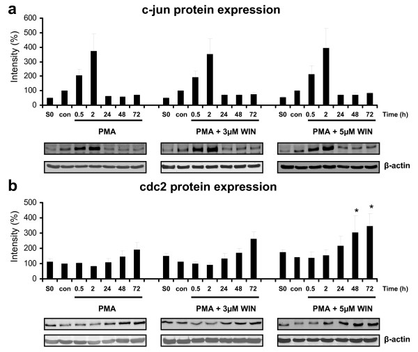 Immunoblot analysis of c-jun and cdc2 protein expression in PMA-induced U937 cells co-incubated with WIN55212-2 . Differentiation of U937 cells was induced by 25 nM PMA with or without co-incubation with WIN55212-2. The experimental groups were: 1.) Vehicle control = treatment with 0.1% DMSO only (con) , 2.) Differentiation control = treatment with 25 nM PMA (0) , 3.) Experimental groups were treated additionally with 3 μM (3) or 5 μM (5) WIN55212-2, respectively. C-jun (figure 5a) and cdc2 (figure 5b) protein expression was analysed by immunoblotting and quantified by Odyssey infrared imaging system (Li-Cor Biosciences) and shown as mean +/- SEM, n = 3. Relative intensities were normalized to non-induced control cells (con) and an internal control (S0) for quantification if different blot membranes have been used. *p