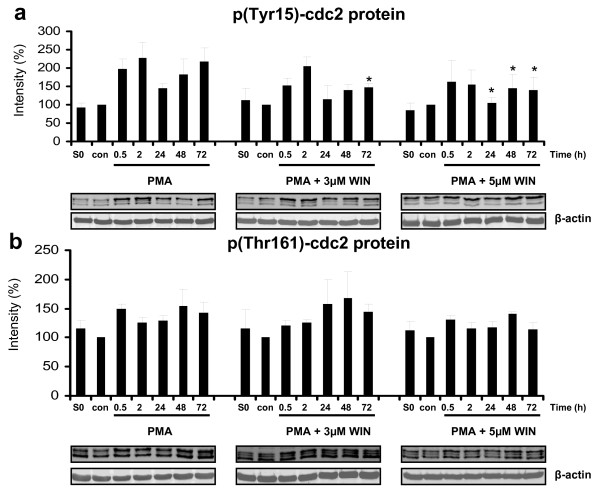 WIN55212-2 altered phosphorylation of cdc2 protein . Differentiation of U937 cells was induced by 25 nM PMA with or without co-incubation with WIN55212-2. The experimental groups were: 1.) Vehicle control = treatment with 0.1% DMSO only (con) , 2.) Differentiation control = treatment with 25 nM PMA (PMA) , 3.) Experimental groups were treated additionally with 3 μM (PMA + 3 μM WIN) or 5 μM (PMA + 5 μM WIN) WIN55212-2, respectively. Tyr15-cdc2 (figure 6a) and Thr161-cdc2 (figure 6b) phosphorylation was analysed by immunoblotting and quantified by Odyssey infrared imaging system (Li-Cor Biosciences) and shown as mean +/- SEM, n = 3. Relative intensities were normalized to non-induced control cells (con) and an internal control (S0) for quantification if different blot membranes have been used. *p