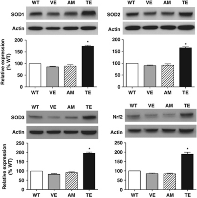 Western blot analysis of renal cortical SOD isoforms and Nrf2 expression after a 4-week treatment with the vehicle (VE), amlodipine (AM) or telmisartan (TE) in C57BL/6-Akita diabetic mice. WT indicates non-diabetic C57BL/6-wild-type mice. The relative intensity of the SOD-to-actin or Nrf2-to-actin ratios to WT is also shown in the lower panels. Data are presented as the mean±s.e.m. n =4 per group. * P