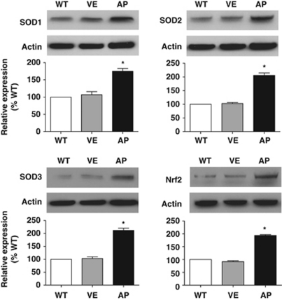 Western blot analysis of renal cortical SOD isoform and Nrf2 expression after an 8-week treatment with the vehicle (VE) or apocynin (AP) in C57BL/6-Akita diabetic mice. WT indicates non-diabetic C57BL/6-wild-type mice. The relative intensity of the SOD-to-actin or Nrf2-to-actin ratios to WT is also shown in the lower panels. Data are presented as the mean±s.e.m. n =4 per group. * P