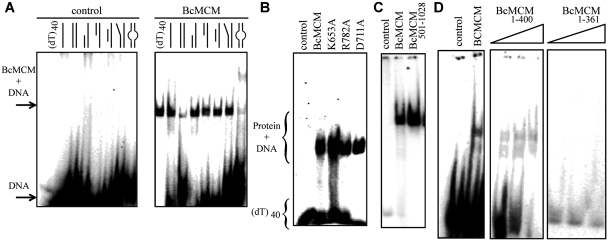 The BcMCM protein binds DNA. ( A ) Native EMSA assays using different DNA structures. Sketches of the different DNA probes used in the assay are indicated above each lane. The assay without BcMCM was used as negative control. The 40-nt lane corresponds to a 40-nt poly-dT, (dT) 40 , a probe to discard binding to DNA secondary structures, and was used in subsequent assays. The sequences of the probes are described in Supplementary Table SII . Arrows and brackets indicate positions of the shifted protein–DNA complex and free DNA. All the assays were carried out using 1 µM of protein, unless otherwise indicated, and 1 nM of DNA. ( B ) Mutations in the ATPase site do not affect DNA binding. ( C ) The helicase domain BcMCM 501–1028 is able to bind DNA. ( D ) The canonical primase domain BcMCM 1–361 (1–3 µM) does not bind DNA. However, BcMCM 1–400 (1–3 µM) shows weak binding compared to the wild-type protein.