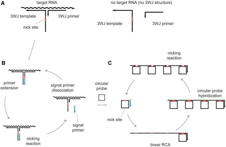 RNA detection mechanism by three-way junction probe and primer generation-rolling circle amplification. ( A ) Three-way junction (3WJ) probes (primer and template) are designed to form a 3WJ structure on target RNA, however they do not interact each other without target RNA because their complementary sequence is only 6–8 bases. ( B ) Addition of DNA polymerase and nicking enzyme initiates a reaction cycle of primer extension, nicking reaction and signal primer generation under an isothermal condition to generate signal primers. ( C ) The generated signal primers can be detected by primer generation-rolling circle amplification.