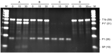 Confirmation of 3WJ primer extension and signal primer generation products. 3WJ primer P1, 3WJ template T1b and RNA50 were mixed in different combinations [( A) : P1/T1b/RNA50, ( B ): P1/T1b, ( C ): P1/RNA50 and ( D ): T1b/RNA50] and incubated to form a 3WJ structure. Signal generation reaction was conducted at 60°C for 0, 15 and 30 min by adding an enzyme mix [0.2 U Vent(exo-) DNA polymerase and 1 U Nb.BsmI] to the samples. The reaction products were analyzed on 15% denaturing polyacrylamide gel. P1* indicates a reaction product through primer extension of 3WJ primer and SP indicates signal primer generated from 3WJ structure. The numbers in parentheses indicate the length or expected length of each probe or reaction product. Lane M is 20–100 nt oligonucleotide marker.