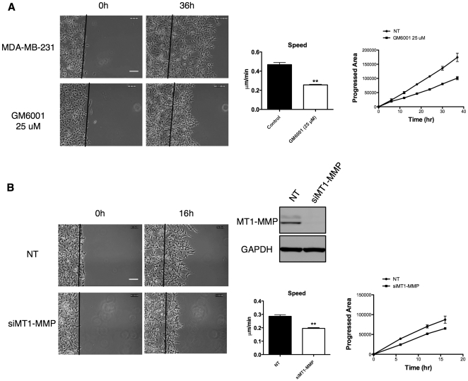 Cell invasion in CIA with Matrigel is an MMP dependent process. (A) Addition of 25 µM GM6001 significantly impairs MDA-MB-231 cell invasion in CIA speed and progressed area (arbitrary units) versus time are shown in the graphs. Scale bar 50 µm. (B) siRNA knockdown of MT1-MMP significantly impairs invasion in CIA. Western blot shows a representative knockdown of MT1-MMP. Movies were analyzed in three independent experiments. All error bars indicate means ± SD; **, P